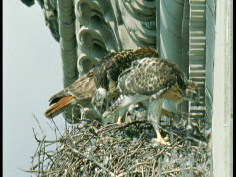 Family of red tailed hawks on nest on building ledge, New York City
