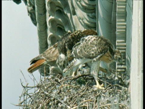 vídeos de stock, filmes e b-roll de family of red tailed hawks on nest on building ledge, new york city - peitoril de janela