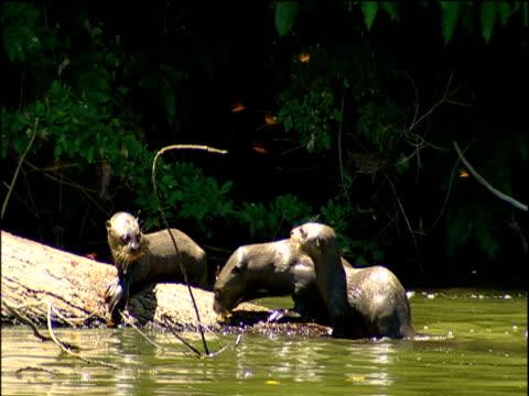 family of river otters feed on fish in oxbow lake, amazon - カワウソ点の映像素材/bロール