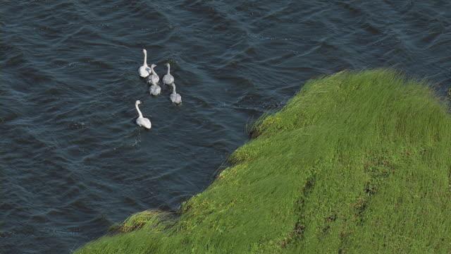 Family Of Swans In Water In Alaska