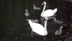 Family of swans on the river - The big swan eats the grass
