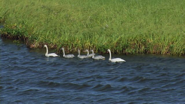 Family Of Swans Swims To Riverbank