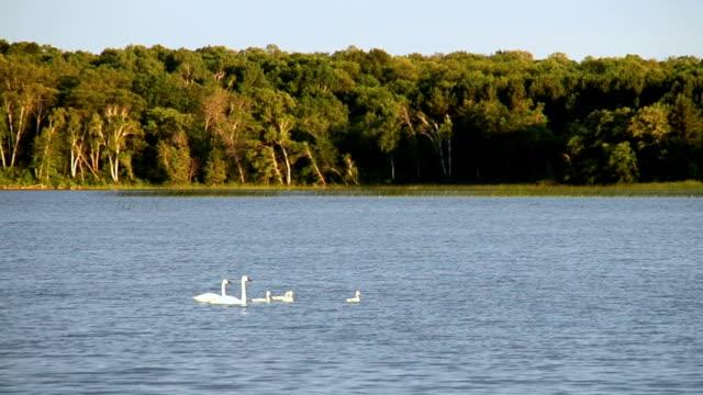 Famiglia di Trombettista Swans nuotare in una foresta Lake
