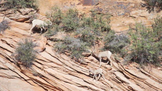 family of wild goats eating dry vegetation inside canyon - sandstone stock videos & royalty-free footage