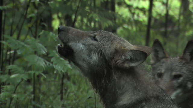 family of wolves - wolf stock videos & royalty-free footage