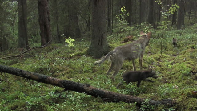 family of wolves - europe stock videos & royalty-free footage