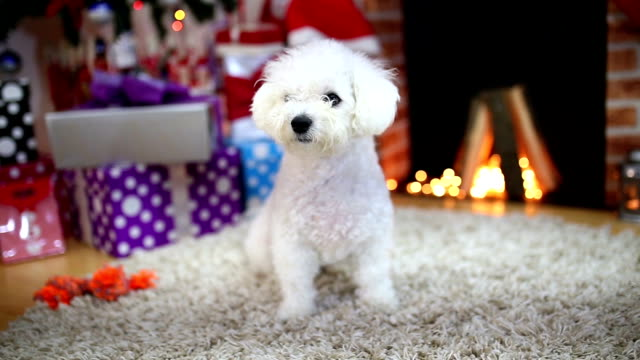 family pets resting in front of the fireplace - bichon frise stock videos and b-roll footage