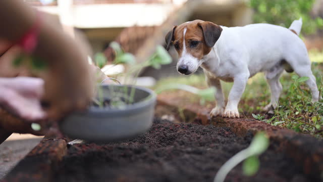 family planting tomatoes seedling in organic garden with little jack russel terrier helping playing in morning - vegetable garden stock videos & royalty-free footage