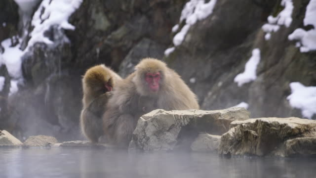family snow monkey sit down side-by-side and embrace and groom each other around the edge of hot spring bathtub among the snowy mountain in jigokudani snow monkey park (jigokudani-yaenkoen) at nagano japan on feb. 16 2019. - 温泉点の映像素材/bロール