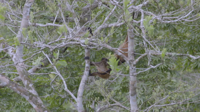 ms family spider monkey sitting on tree in forest / panamá province, panama - central america stock videos & royalty-free footage