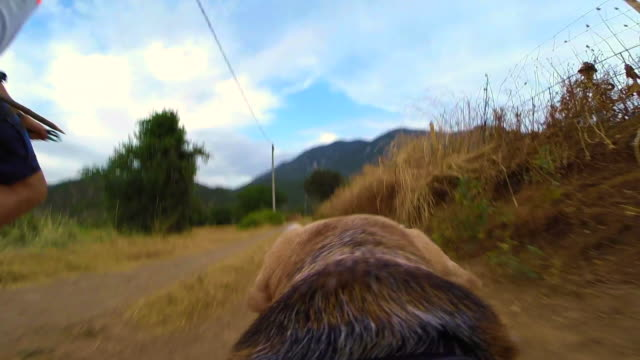 stockvideo's en b-roll-footage met family walking the dog with gopro camera attached to his back recording from dog personal perspective on the afternoon walk. - alleen één mid volwassen man