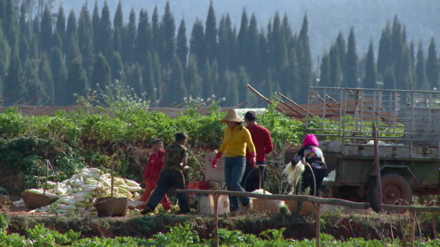 ws family with three children harvesting corn in field, yunnan, china - family with three children stock videos & royalty-free footage