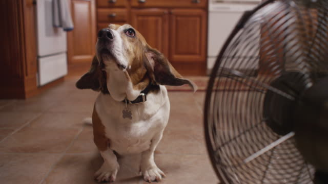 A fan blows the floppy ears of a Basset hound dog in a kitchen.