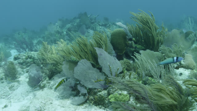 fan corals waft in ocean current on reef, belize - wrasse stock videos & royalty-free footage