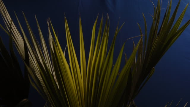 a fan palm opens in front of a blue screen. available in hd. - blattfiedern stock-videos und b-roll-filmmaterial
