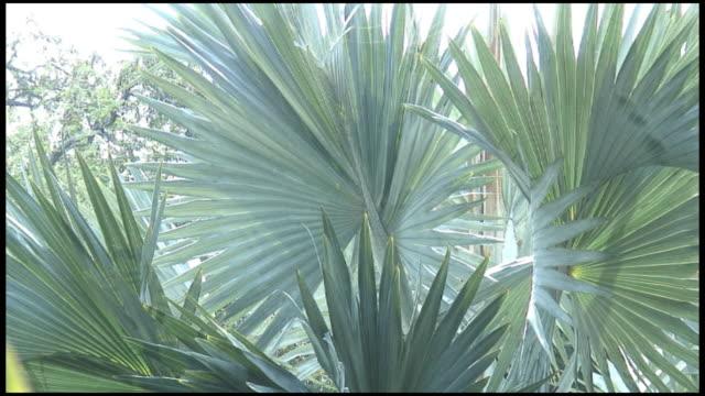 vidéos et rushes de (hd1080) palmier trachycarpus avec flou lumière du soleil - fan palm tree