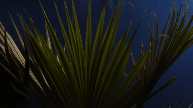 fan palms tremble in front of a blue screen. available in hd. - blattfiedern stock-videos und b-roll-filmmaterial