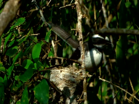 mcu fan tailed fly catcher arrives at nest, feeds chicks then flies off - animal nest stock videos & royalty-free footage