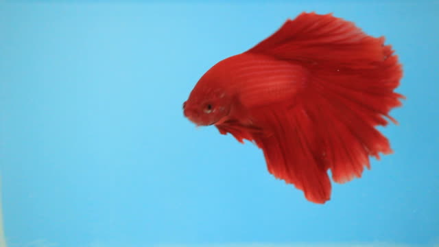 fancy betta. - siamese fighting fish stock videos and b-roll footage