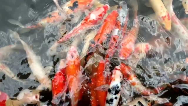 Fancy carp fish swim slow motion in pond.