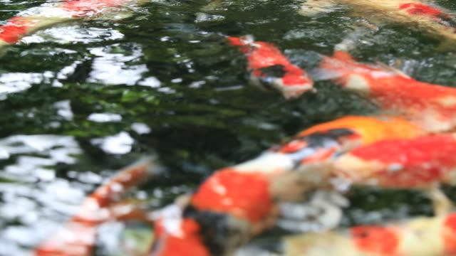 sugen på karp-fiskar som simmar i dammen - utebassäng bildbanksvideor och videomaterial från bakom kulisserna