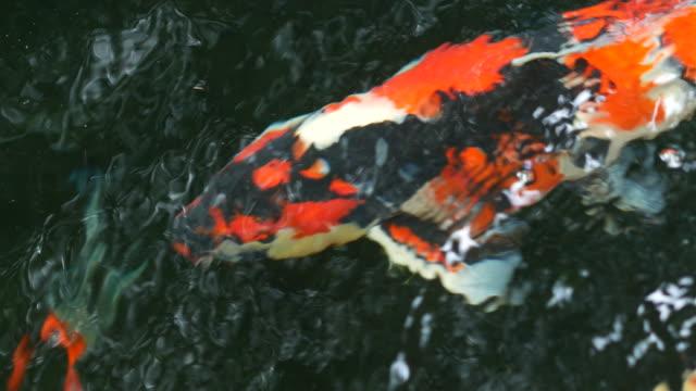 Fancy Carp fish swimming in pond