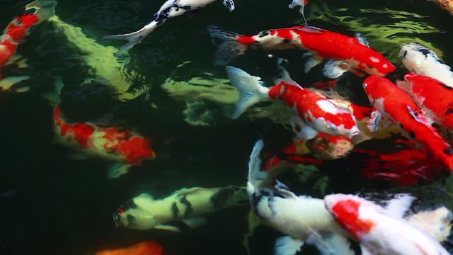 4K: Fancy carp or Koi fish swimming at pond in the garden