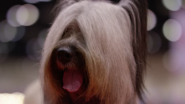 fancy dog with bokeh - long hair stock videos and b-roll footage
