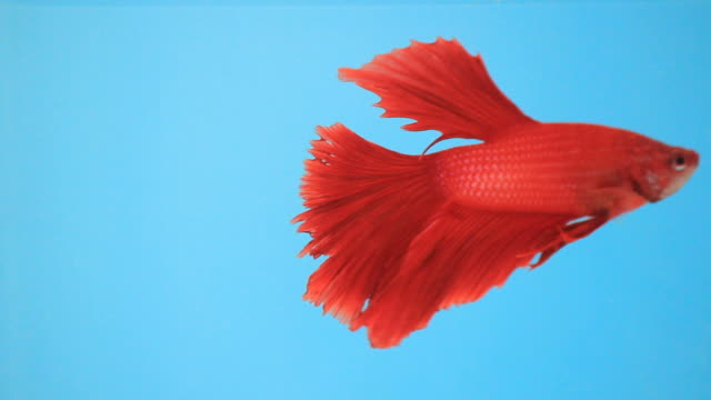 fancy siamese betta. - siamese fighting fish stock videos and b-roll footage