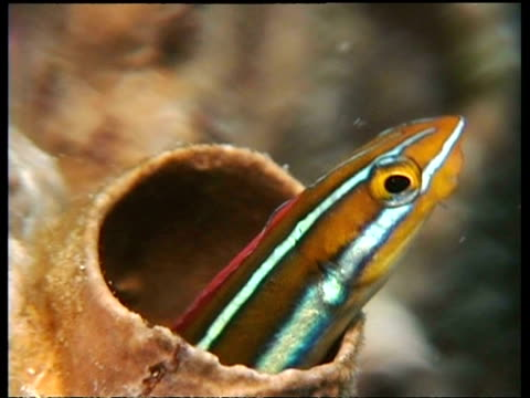 cu fang blenny dancing in tube of coral, kapalai, borneo, malaysia - hide and seek stock videos & royalty-free footage