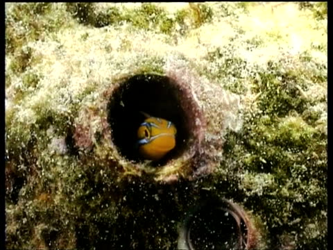 fang blenny hiding in tube of coral, front view, kapalai, borneo, malaysia - hide and seek stock videos & royalty-free footage