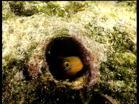 fang blenny hiding in tube of coral, front view, kapalai, borneo, malaysia - pezzatura video stock e b–roll