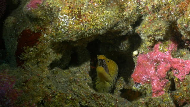fang tooth moray eel, underwater azores - moray eel stock videos & royalty-free footage