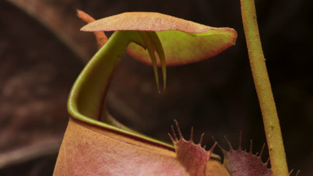 tl fanged pitcher plant trap inflates and opens, uk - insectivore stock videos & royalty-free footage