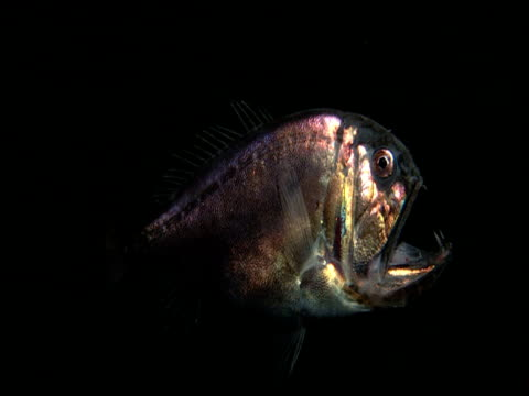 fangtooth hangs motionless in dark ocean, gulf of mexico - deep sea fish stock videos & royalty-free footage