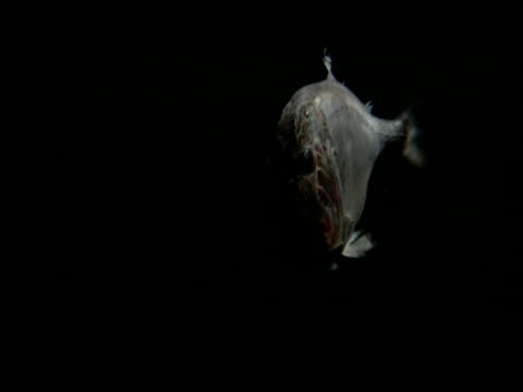 fangtooth swims in black ocean, gulf of mexico - 動画関連点の映像素材/bロール