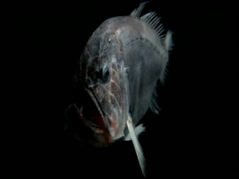 fangtooth swims through black ocean, gulf of mexico - tiefe stock-videos und b-roll-filmmaterial