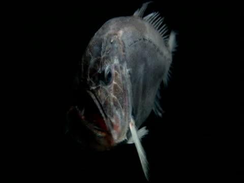 fangtooth swims through black ocean, gulf of mexico - profondo video stock e b–roll