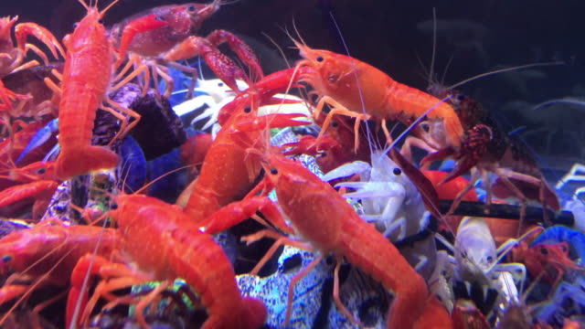fansy shrimp - crustacean stock videos and b-roll footage