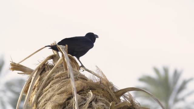 fan-tailed raven 1 - perching stock videos & royalty-free footage