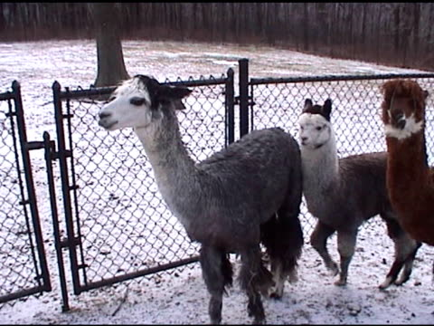 farm alpakas-ntsc - kleine gruppe von tieren stock-videos und b-roll-filmmaterial