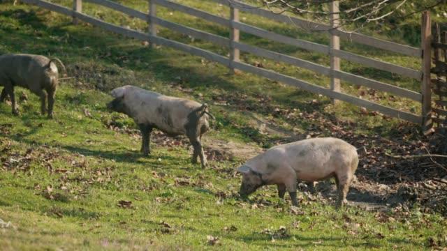nutztiere. tourismus - schwein stock-videos und b-roll-filmmaterial