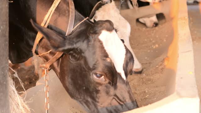養草を食べて牛を搾乳し、酪農場で餌を与える農場の納屋。農場での子牛の餌付け - 家畜点の映像素材/bロール