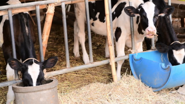 farm barn with milking cows eating hay, feeding on dairy farm. calf feeding on farm - dairy product stock videos & royalty-free footage