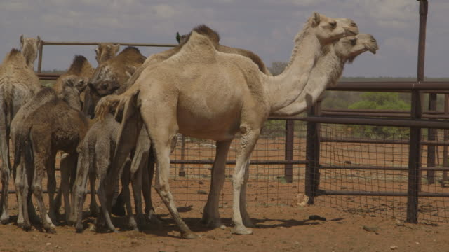 farm camel stand in a line, northern territory - northern territory australia stock videos & royalty-free footage