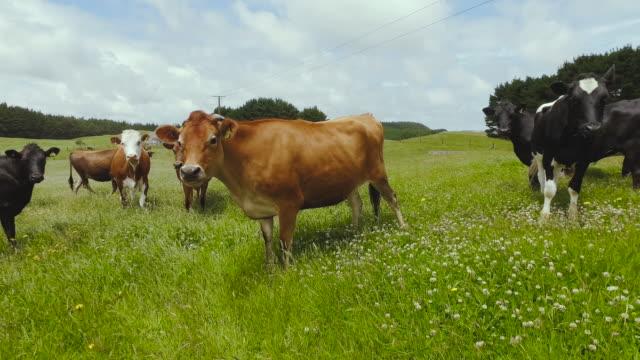 farm cow. - medium group of animals stock videos & royalty-free footage