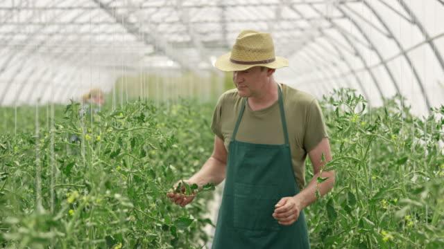 DS Farm Mitarbeiter überprüfen Tomaten im Gewächshaus