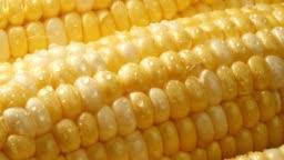 Farm fresh sweet yellow corn with water droplets.