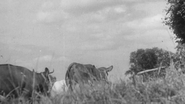 1933 montage farm hands waiting for cows being driven home for milking / united kingdom - 1933 stock videos & royalty-free footage