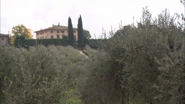 A farm in Tuscany grows olives.